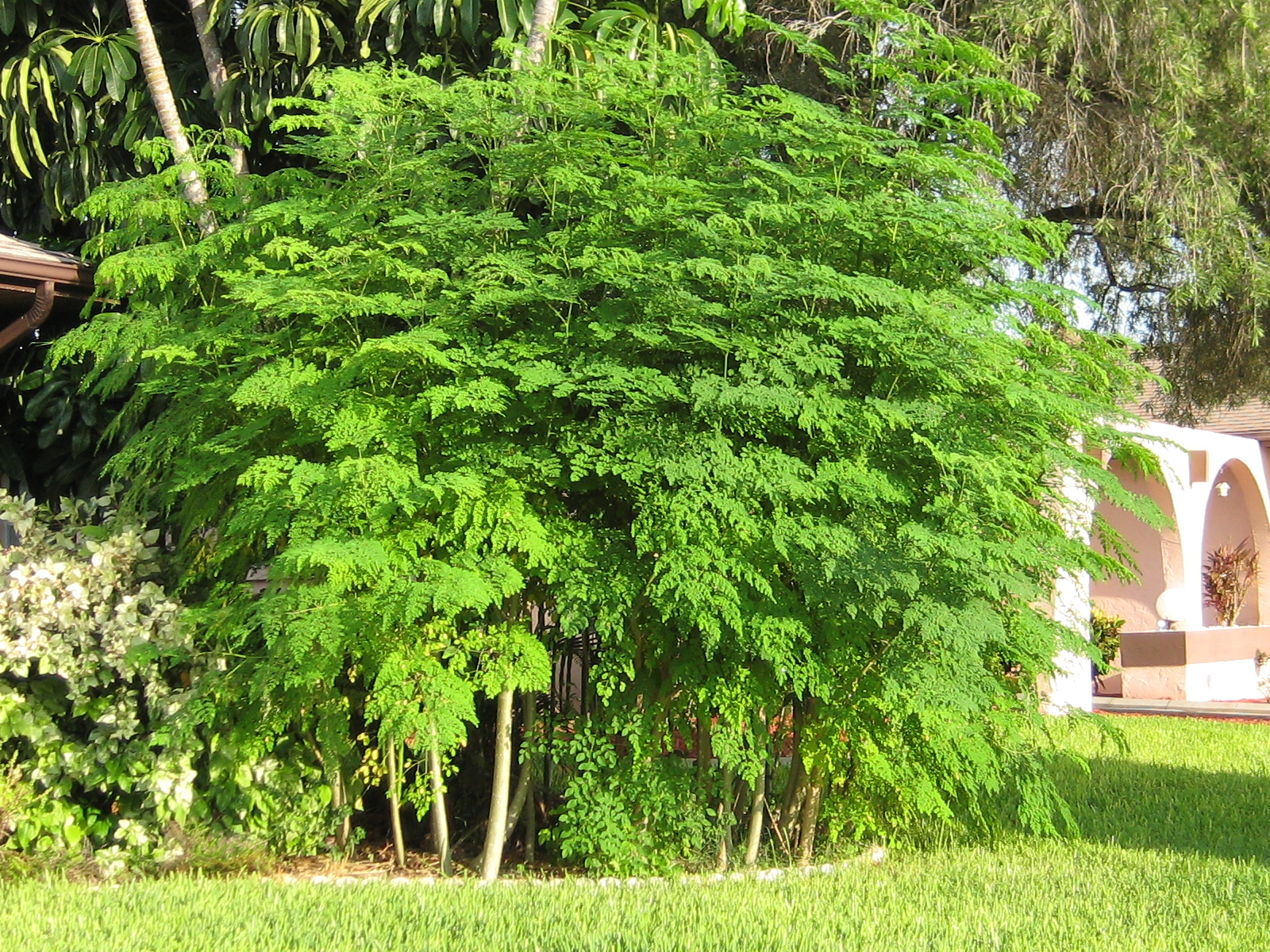 grow a moringa tree
