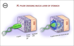 1024px-Ulcer-causing_Bacterium_(H.Pylori)_Crossing_Mucus_Layer_of_Stomach