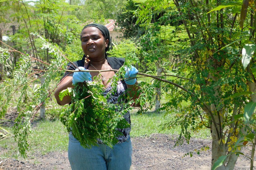 moringa farmers