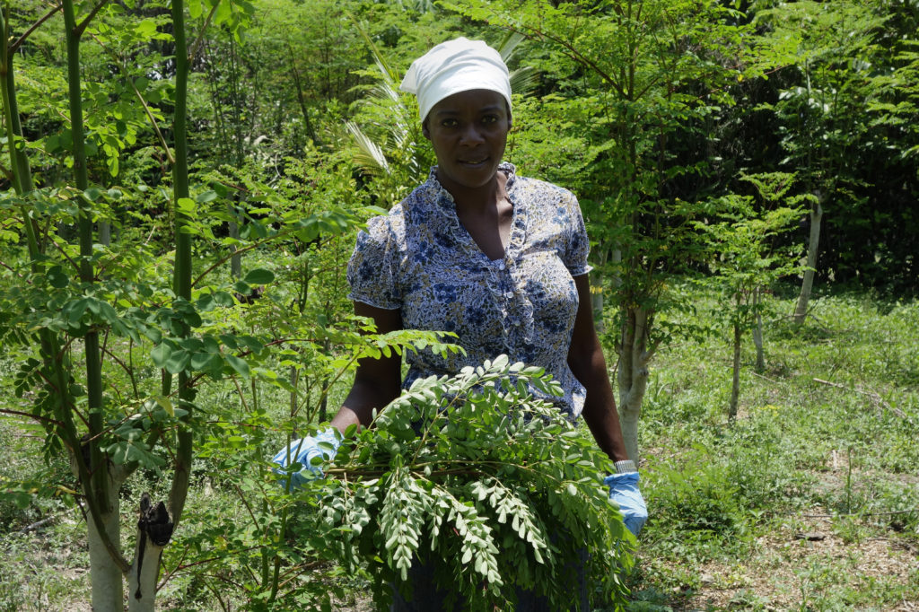 moringa reforestation