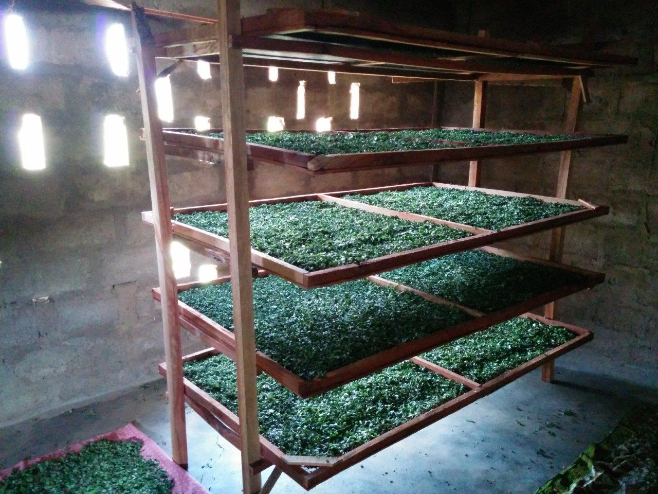 Moringa Processing in Benin - drying racks