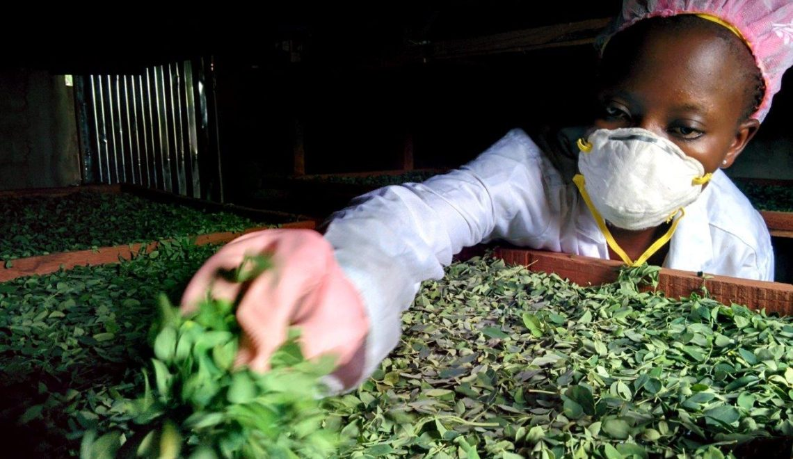 The 10 Step Moringa Powder Production Process in Benin, West Africa