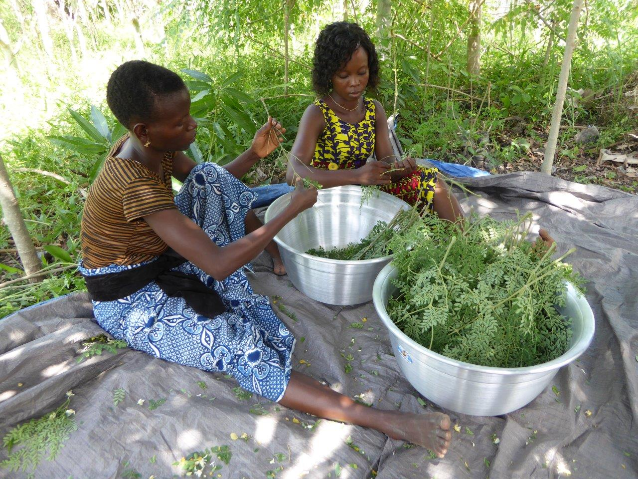 Moringa Processing in Benin