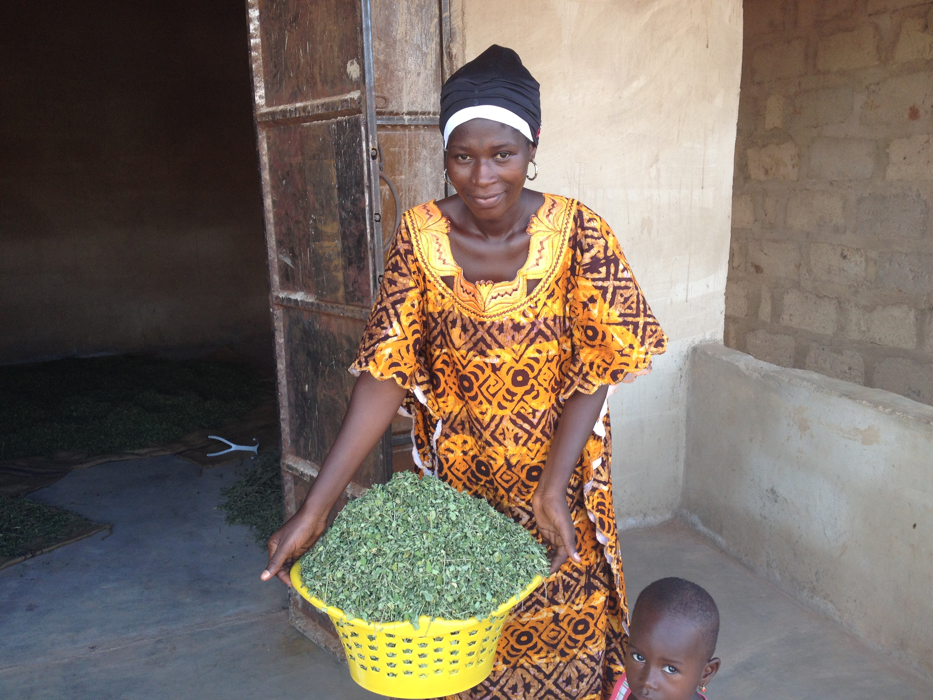 Beyond the Miracle: Moringa's Practical Applications