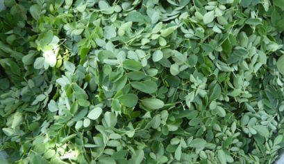 Moringa leaves for moringa sauce