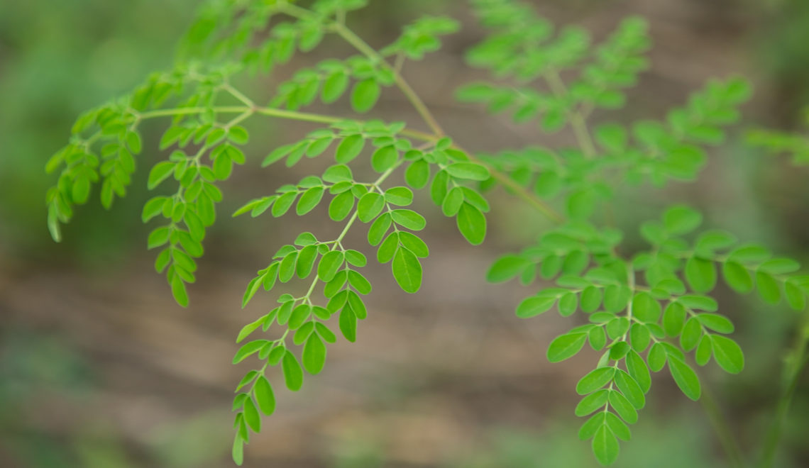 Moringa plant for smoothie