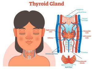 thyroid Gland Explained