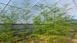 Moringa trees on Bean Farm